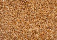 Wheat (Animal Feed)