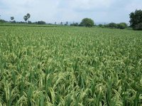 Paddy Sugandha Seeds