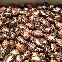 Castor Seeds For Cultivation