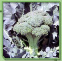Broccoli Plant Seeds