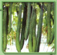 Ridge Gourd Seeds