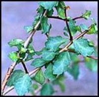 Commiphora Mukul Dry Herb Extract