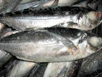 Frozen Mackerel Fish