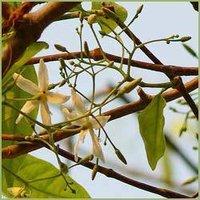 Wrightia Tinctoria / Indrajav