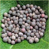 Embelia Ribes/Myrsinaceae/Vidanga - Baividang
