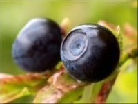 European Bilberry Extract