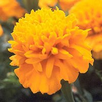Fresh Flowers Marigold