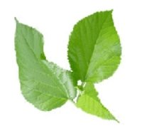 Mulberry Leaf P.E.