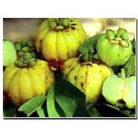 Garcinia Cambogia Extract
