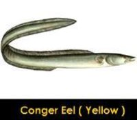 Conger Eel Yellow Fish