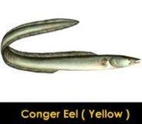 Conger Eel Yellow Fish