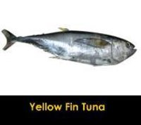 Yellow Fin Tuna Fish