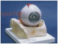 Human Eye With Muscles Model