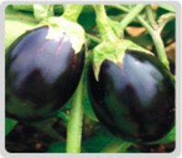 Brinjal Seeds
