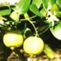Bergamot (Citrus Bergamia)