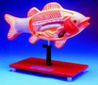 Fish Dissection Model