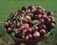 Hybrid Brinjal For Planting