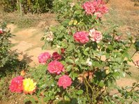 Rose Plants