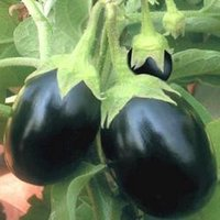 Brinjal Seed