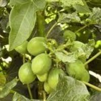 Jatropha Seed Oils