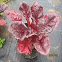 Beet Root Red Colors
