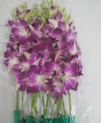 Fresh Cut Orchid