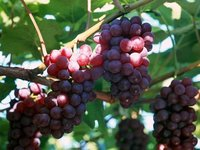 Resveratrol 98% Grape Skin Extract