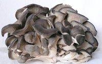 Pleurotus Columbinus Oyster Mushroom Spawns