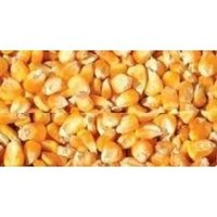 Dry Corn ( Yellow Maize)