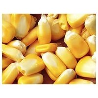 Yellow Maize Grain