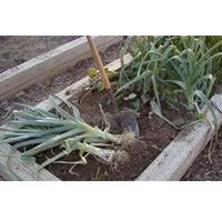 American Leeks