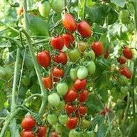 Cheery Tomatos