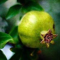 Green Pomegranate