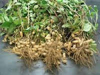 Peanuts Growth Paclobutrazol