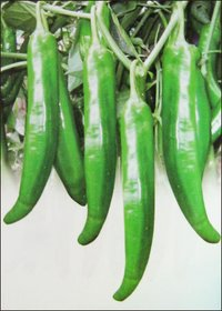 Chilli Seeds (No 511)