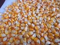 Animal Feed Yellow Corns