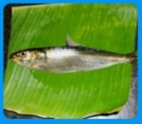 Indian Oil Sardine Fish