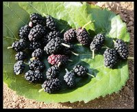 Mulberry Fruit P.E Plant Extract