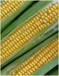 California Sweet Corn