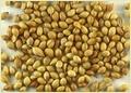 Premium Coriander Seed