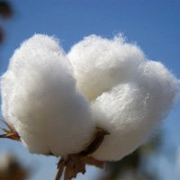 Raw Cotton & Cotton Waste