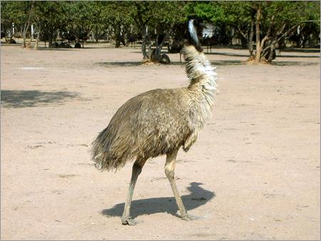 EMU Birds - 20 Months