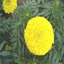Marigold Karina Yellow Seed