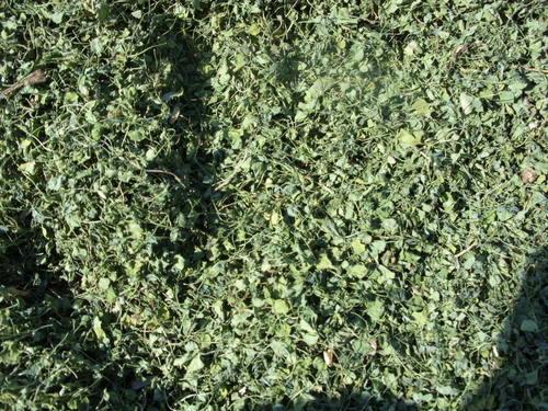 Kasoori Methi (Fenugreek Leaves)