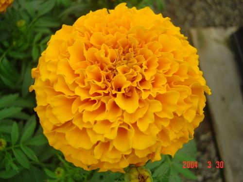 Marigold Seed F1