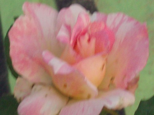 Cabana Rose Plant