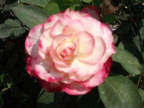 Cherry Parfait Rose Plant