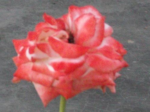 Rose Flower Plant (Impertice Farah)