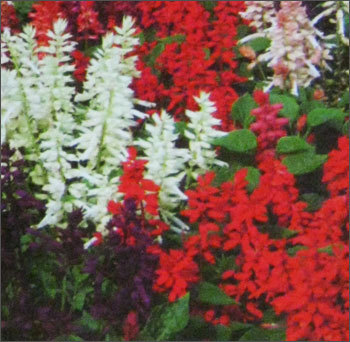 Salvia Amora Seeds