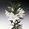 Crystal Blanca Oriental Cut Flowers